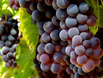 беременным есть виноград
